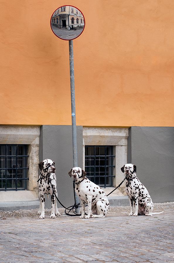 Tre dalmatiner