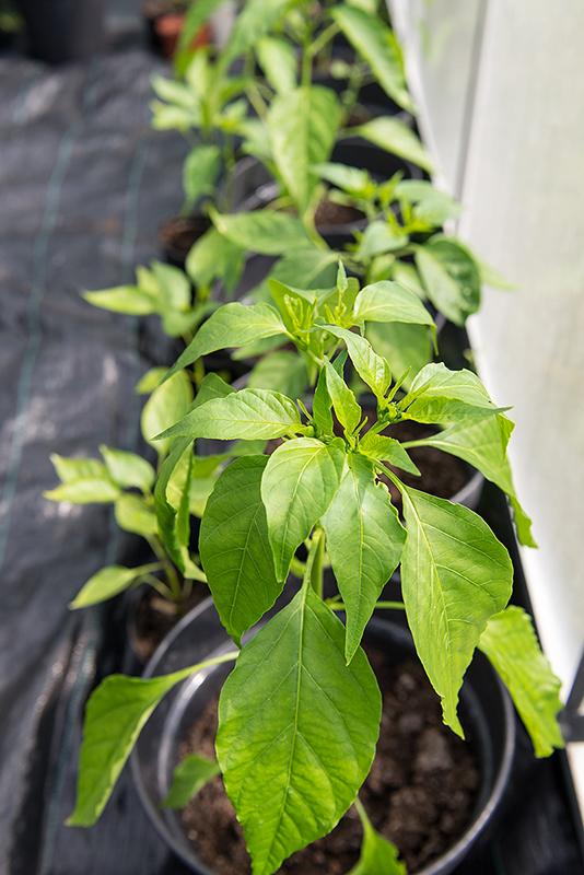 I växthuset växer chiliplantorna på rad